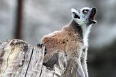 Ring-tailed Lemur Catta Yawning