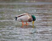 Puzzled Mallard Duck