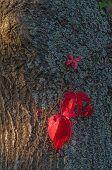 Red Leaves Of Vine On A Dark Tree Trunk