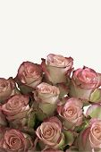Beautiful Pink Roses Isolated On White Background With Space For Text