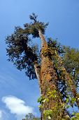 Ancient Rimu Tree On West Coast New Zealand