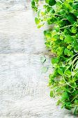 stock photo of oregano  - oregano on a white wood background - JPG