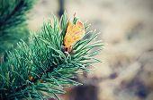 Pine iced tree