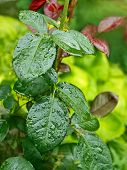 Rose Leaves With Water Droplets