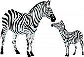 Zebra Or Equus Zebra, Illustration