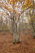 Beech Forest In Autumn With Warm Tone. Spain