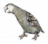 African Grey Macaw, Color Illustration