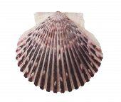 Radial Sea Shell Isolated