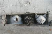 stock photo of pity  - Three feral kittens hiding in a crawl space under an apartment complex - JPG