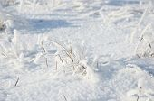 dry grass under the snow