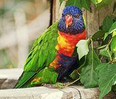 picture of lorikeets  - The Rainbow lorikeet  - JPG