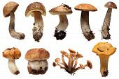 Wild Foraged Mushroom selection isolated.  Boletus Edulis mushrooms over white background