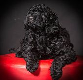 barbet puppy sitting on red stool on black background