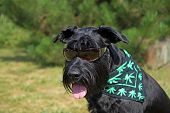 picture of schnauzer  - Big Black Schnauzer Dog has glasses on its eyes and scarf textured with cannabis leaves has around its neck - JPG