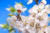 Blossom of fruity brach in the sunlight. Macro.