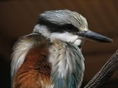 picture of blue winged kookaburra  - red backed kingfisher - JPG