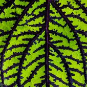 stock photo of fishnet  - Closeup of a Fishnet Stockings Plant Leaf - JPG