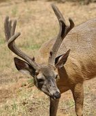 stock photo of blacktail  - closeup of a Californian Black - JPG