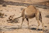 stock photo of hump  - Camel with one hump in the desert - JPG