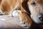 foto of catheter  - sick dog lying on bed with cannula in vein taking infusion - JPG