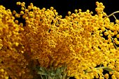 stock photo of mimosa  - Beautiful sprigs of mimosa close up - JPG