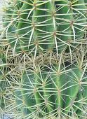 pic of mother law  - Mother in laws cushion or Golden ball barrel cactus (echinocavtus grusonii) on Fuerteventura one of the Canarian islands in the Atlantic Ocean