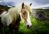 picture of iceland farm  - An Icelandic horse roaming free in west Iceland - JPG