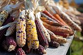 image of wagon  - The annual autumn harvest reaps rewards with this wagon load of colorful indian corn