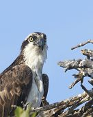 stock photo of osprey  - Osprey Sitting on Nest with Blue Sky - JPG