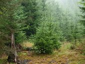 picture of bohemia  - spruce forest in summer - JPG