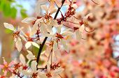 pic of cassia  - pink cassia flower or pink shower flower on tree - JPG