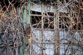 picture of vegetation  - Facade of an abandoned wooden house covered with overgrown vegetation - JPG