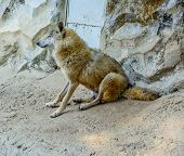 picture of dread head  - The Himalayan wolf in himalayan zoological park  - JPG