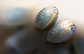 pic of seed bearing  - Close view of two hemp seeds in a blurred background - JPG
