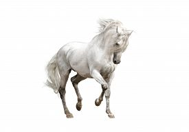 picture of stallion  - white andalusian horse stallion isolated on white background - JPG