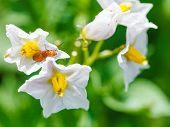 picture of potato bug  - soldier beetle in potato flower in summer garden - JPG