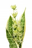 stock photo of sansevieria  - Blooming home flower Sansevieria covered with drops of nectar isolated on a white background close - JPG