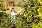 image of mandarin orange  - Cheerful young man harvests oranges and mandarins on citrus farm on sunny summer day - JPG