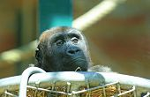 stock photo of adolescence  - An isolated adolescent Gorilla looking over the tops of his nest taken through glass - JPG