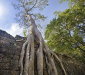 pic of raider  - Preah Khan famouse giant tree with ancient roots - JPG