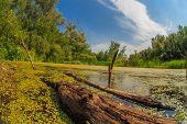 image of boggy  - duckweed swamp forest  snag sky Russian landscape - JPG