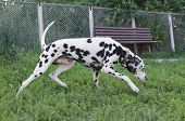 image of spotted dog  - dalmatian dog fan in the playground run - JPG