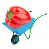 picture of hand-barrow  - Sweet pepper in hand - JPG