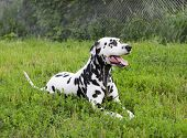 picture of spotted dog  - Dalmatian dog lying on green grass in summer - JPG