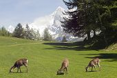 Deer In Front Of Mont Blanc
