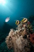 Bannerfish And Coral In The Red Sea.