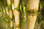 Bambus (Bambus Ventricosa Mcclure)