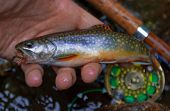 Close-Up Of A Wild Vermont Brook Trout