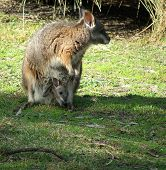 picture of quokka  - quokka with joey in pouch - JPG