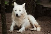 Arctic wolf (Canis lupus arctos), also known as the Melville Island wolf.  poster